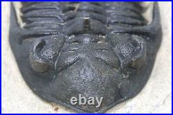 TRILOBITE Metacanthina Fossil Morocco 390 Million Years old #15142 25o