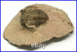 TRILOBITE Metacanthina Fossil Morocco 390 Million Years old #15162 16o