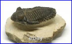 TRILOBITE Metacanthina Fossil Morocco 390 Million Years old #15180 15o