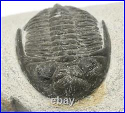 TRILOBITE Metacanthina Fossil Morocco 390 Million Years old #15246 16o