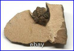 TRILOBITE Metacanthina Fossil Morocco 390 Million Years old #15254 16o