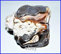Titanothere Brontothere Large Tooth Fossil 50 Million Years Old #14260 11o