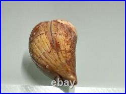 Very rare fossil anterior tooth of a pterosaur (110 million years old)