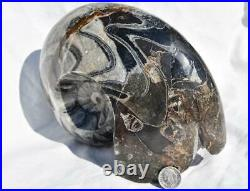 WHOLE Morocco Ammonite GONIATITE 380 million year old Fossil 175mm 6.9 3416xx