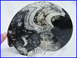 WHOLE Morocco Ammonite GONIATITE 380 million year old Fossil 180mm 7.0 3316xx