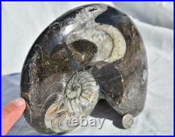 WHOLE Morocco Ammonite GONIATITE 380 million year old Fossil 198mm 7.7 3414xx