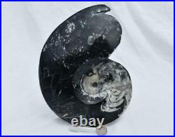WHOLE Morocco Ammonite GONIATITE 380 million year old Fossil 200mm 7.8 3315xx